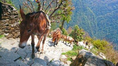 Fotomural Asnos de montanha no nepal