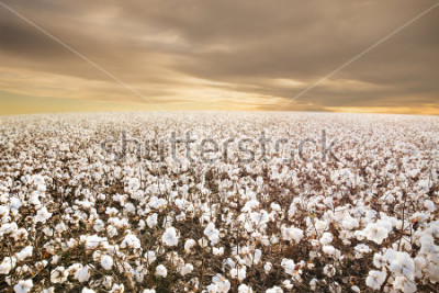 Fotomural Beautiful Cotton Field in Texas with morning Sunrise