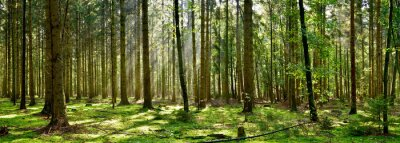 Fotomural Beautiful forest with moss-covered soil and sunbeams through the trees