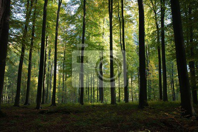Fotomural Beautiful scenery of high green trees in the forest with the sun rays during daytime in Brussels