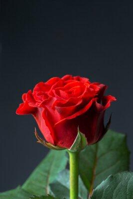 Fotomural Bela rosa vermelha