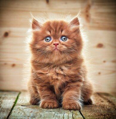 Fotomural Belo british longo cabelo gatinho