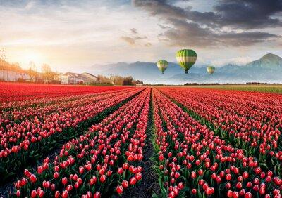 Fotomural Belo campo de tulipas vermelhas na Holanda. Balões em segundo plano. Evento de primavera fantástico