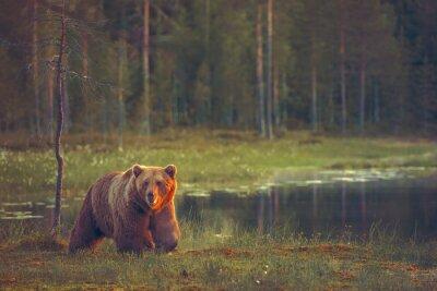 Fotomural Big male bear walking in the bog at sunset