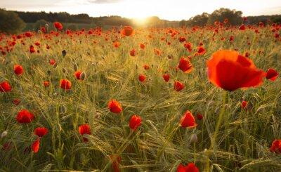 Fotomural Blooming campo da papoila na luz da noite