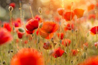 Fotomural Blooming campo da papoila na luz da noite com bokeh