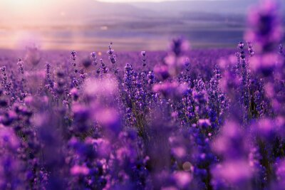 Fotomural blurred summer background of wild grass and lavender flowers