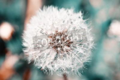 Fotomural Bonito, dandelion, sementes, close-up