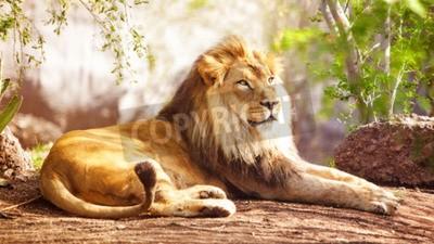 Fotomural Bonito, grande, africano, leão, deitando, baixo, árvores, fundo