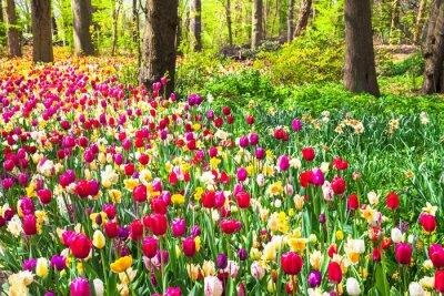 Fotomural Bonito, jardim, florescendo, vívido, tulips, keukenhof, parque, Holland
