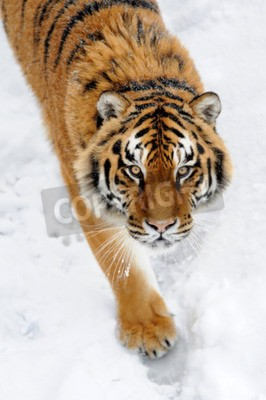 Fotomural Bonito, selvagem, siberian, tigre, neve