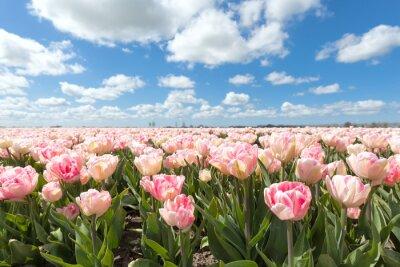 Fotomural Bonito, tulipa, campo, ensolarado, Dia