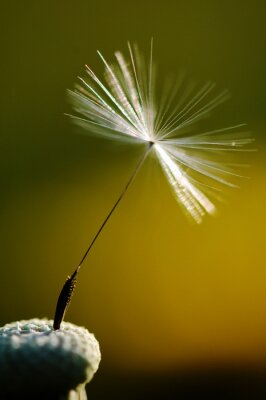 Fotomural Branca, florescendo, dandelion, verde, fundo, detalhe, macro, fotografia, dandelion, sementes