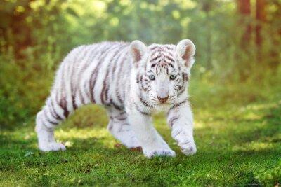 Fotomural Branca, tigre, filhote, andar, ao ar livre