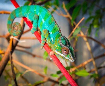 Fotomural Brilhante e colorido camaleão sentado em uma filial