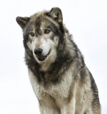 Fotomural Cabeça de lobo no fundo branco