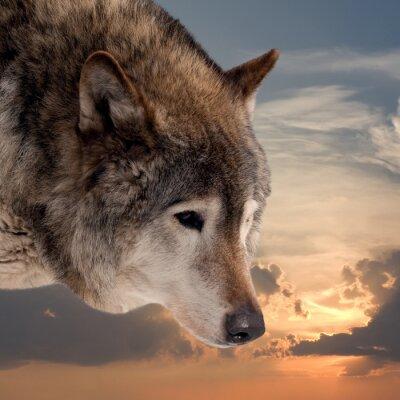 Fotomural Cabeça, lobo, pôr do sol, céu