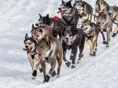 Fotomural Cães de trenó Iditarod