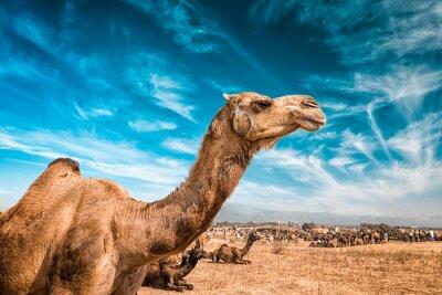 Fotomural Camelo na Índia