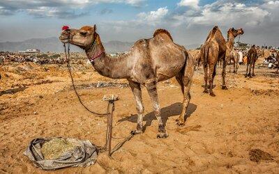 Fotomural Camelos em Pushkar Mela Camel Fair, Índia