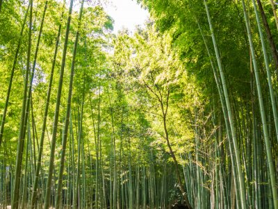 Fotomural Caminho de bambu