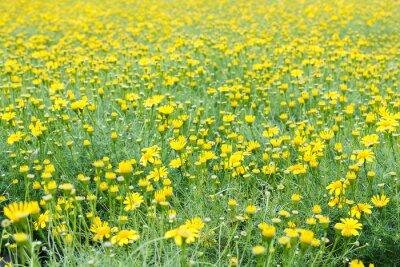 Fotomural Campo amarelo do dente-de-leão.