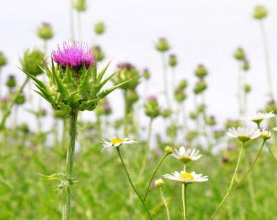 Fotomural Campo com Silybum marianum (Milk Thistle), plantas medicinais.