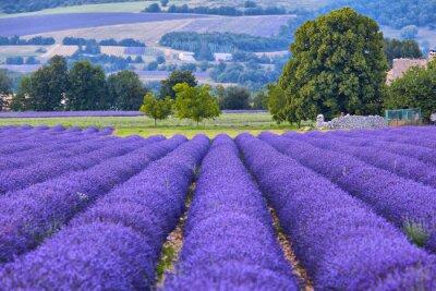 Fotomural Campos de Lavander em Provence