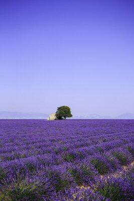 Fotomural Campos, florescer, lavanda, flores, antigas, fazenda, Provence, França