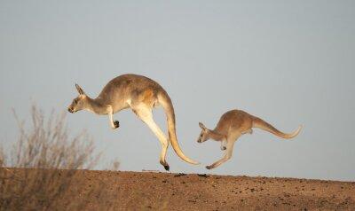 Fotomural Cangurus em Sturt National Park, Nova Gales do Sul, Austrália
