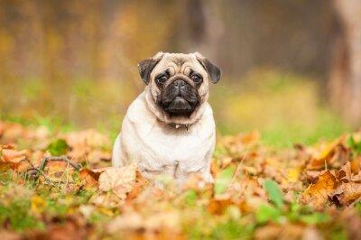 Fotomural Cão pug Bege sentado sobre as folhas no outono