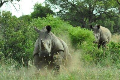 Fotomural Carregamento do Rhino