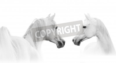 Fotomural cavalo árabe branco