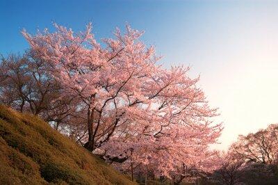 Fotomural Cereja, flores, Kiyomizu-dera, Kyoto, Japão
