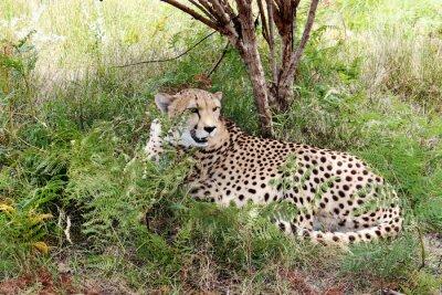 Fotomural Cheetah 03