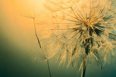 Fotomural Close up da bela dandelion