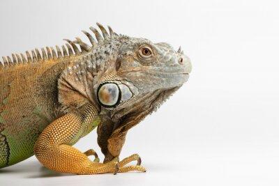 Fotomural Close up da iguana verde sobre fundo branco
