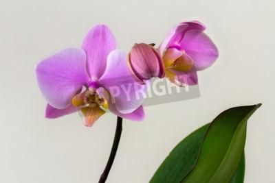 Fotomural Close-up de flor de orquídea pastel. Zen na arte das flores. Macro fotografia da natureza.