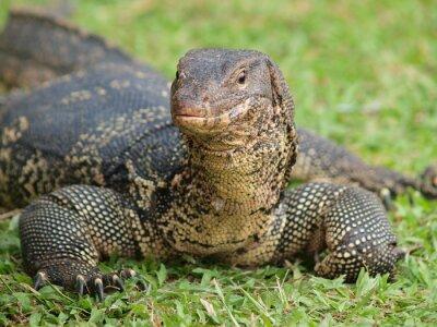 Fotomural Close up de lagarto monitor - Varanus em foco grama verde no