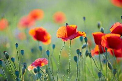 Fotomural Close up od poppy flower
