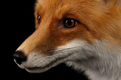 Fotomural Closeup, Retrato, vermelho, Fox, perfil, isolado, pretas