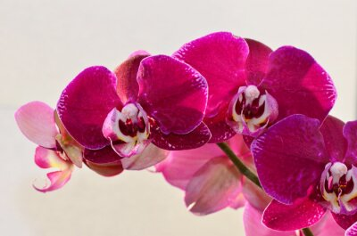Fotomural Closeup roxo orquídea