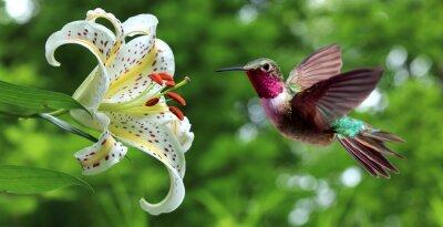 Fotomural Colibri, pairar, ao lado, lírio, flores, panorâmico, vista