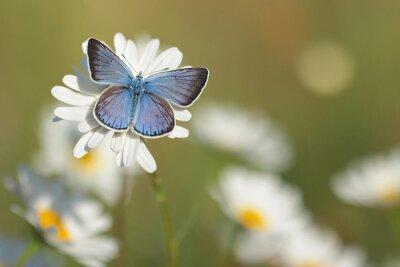 Fotomural Comum borboleta azul