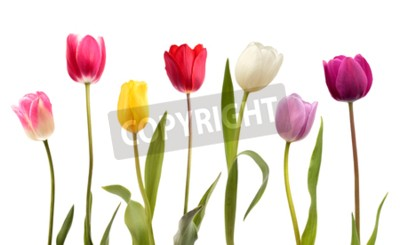 Fotomural Conjunto de sete flores tulipa cor diferente isolado no fundo branco
