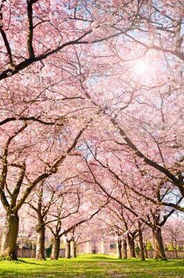 Fotomural Cor da primavera: jardim com flores de cerejeira japonesa :)