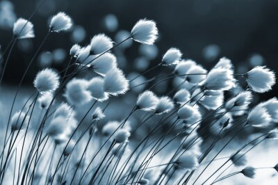 Fotomural Cotton grass on the lake on a summer evening