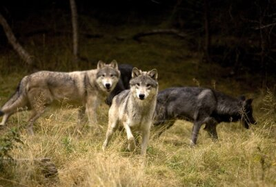 Fotomural Curious Wolves in field