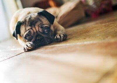 Fotomural Cute pug mentir
