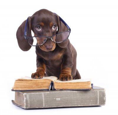 Fotomural dachshund puro-sangue nos vidros e no livro